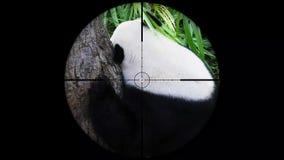 Reuzediemelanoleuca van pandaailuropoda in het werkingsgebied van het kanongeweer wordt gezien Het wild de Jacht Bedreigd, Kwetsb stock video