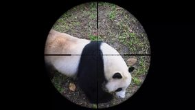 Reuzediemelanoleuca van pandaailuropoda in het werkingsgebied van het kanongeweer wordt gezien Het wild de Jacht Bedreigd, Kwetsb stock videobeelden
