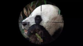 Reuzediemelanoleuca van pandaailuropoda in het werkingsgebied van het kanongeweer wordt gezien Het wild de Jacht Bedreigd, Kwetsb stock footage