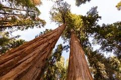 Reuzeforest sequoia national park royalty-vrije stock fotografie