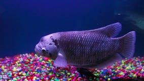 Reuzegourami vissen, onderwaterachtergrond Stock Fotografie