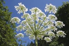 Reuzehogweed (Heracleum-mantegazzianum) Stock Afbeeldingen