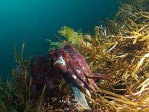 Reuzeinktvissen en het overzeese onkruid Stock Foto's