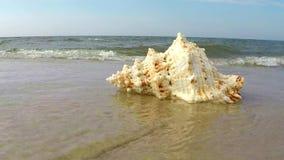 Reuzekikker Shell op een strand stock videobeelden