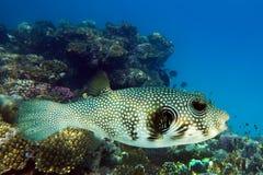 Reuzekogelvis (Arothron-stellatus) - overzeese vissen op het koraalrif - Rode Overzees Royalty-vrije Stock Foto