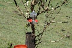 Reuzekolibrie in de Ecologische Reserve van Antisana stock afbeelding