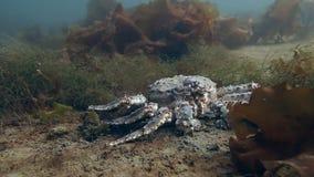 Reuzekoningskrab op zoek naar voedsel op onderwater in de Barentsz Zee stock footage
