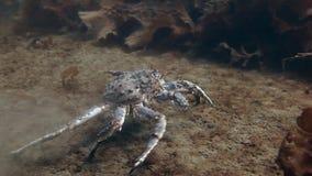 Reuzekoningskrab op zoek naar voedsel op onderwater in de Barentsz Zee stock video