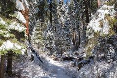 Reuzensequoia's III Royalty-vrije Stock Afbeelding