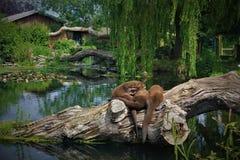 Reuzeotter in mooi Chester Zoo royalty-vrije stock fotografie