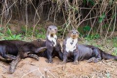 Reuzeotter van Pantanal, Brazilië stock foto's