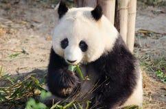 Reuzepanda die bamboe, Chengdu, China eten royalty-vrije stock afbeelding