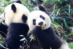 Reuzepanda die bamboe, Chengdu, China eten royalty-vrije stock foto