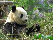 Reuzepanda die bamboe in Chengdu-de provincie China eten van Sichuan van de onderzoekbasis royalty-vrije stock foto's