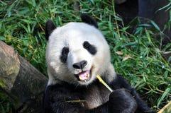 Reuzepanda die lunch hebben bij de dierentuin van San Diego stock afbeelding