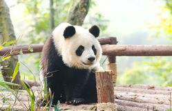 Reuzepanda die merkwaardig, Chengdu, Szechuan, China rond eruit zien royalty-vrije stock fotografie