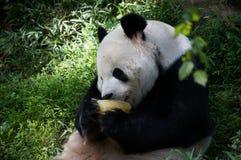 Reuzepanda die voedsel eten wat fruit in het midden van groen bos in Smithsonian Nationale Dierentuin Sluit omhoog zijaanzicht stock afbeelding