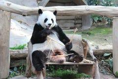 Reuzepanda, genoemd Lin Hui, in Chiangmai-Dierentuin, Thailand Stock Afbeelding