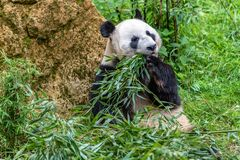 Reuzepanda terwijl dicht omhoog het eten van bamboeportret stock afbeeldingen