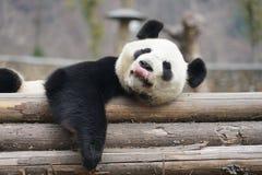 Reuzepanda in WoLong Sichuan China Royalty-vrije Stock Foto's