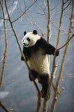 Reuzepanda in WoLong Sichuan China Stock Foto