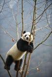 Reuzepanda in WoLong Sichuan China Stock Foto's