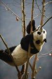 Reuzepanda in WoLong Sichuan China Royalty-vrije Stock Fotografie