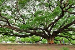 Reuzeregenboom Stock Afbeeldingen