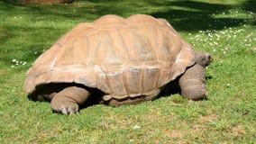 Reuzeschildpad die gras, de reus van Schildpadaldabra eten stock videobeelden