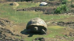 Reuzeschildpad die uit waterhole op islasanta cruz beklimmen in de Galapagos stock videobeelden