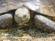 Reuzeschildpad met gras op gezicht Royalty-vrije Stock Fotografie