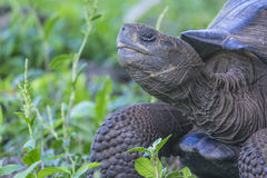 Reuzeschildpad van Santa Cruz in de Eilanden Ecuador 12 van de Galapagos Royalty-vrije Stock Fotografie