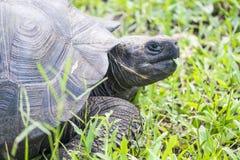 Reuzeschildpad van Santa Cruz in de Eilanden Ecuador 5 van de Galapagos Stock Afbeelding