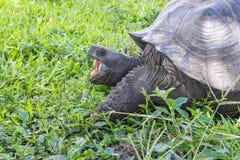 Reuzeschildpad van Santa Cruz in de Eilanden Ecuador 8 van de Galapagos Stock Fotografie
