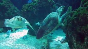 Reuzeschildpadden die samen zwemmen stock videobeelden