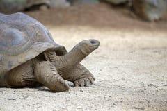 Reuzeschildpadden, dipsochelys gigantea in tropisch eiland Mauritius royalty-vrije stock afbeeldingen
