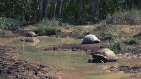 Reuzeschildpadden in een waterhole op islasanta cruz in de Galapagos stock video