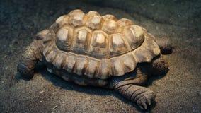 Reuzeschildpadzitting in zon stock foto