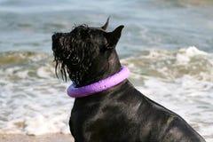 Reuzeschnauzer zit op het strand met een trekker rond zijn hals stock afbeeldingen