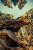 Reuzesequoia Oud Bos royalty-vrije stock afbeeldingen