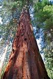 Reuzesequoia's Stock Foto