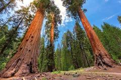 Reuzesequoia's in Sequoia nationaal Park royalty-vrije stock fotografie