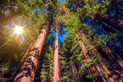 Reuzesequoia'sbos royalty-vrije stock foto's
