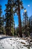 Reuzesequoiabomen in het Nationale Park van Yosemite, Californië stock afbeeldingen