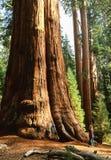 Reuzesequoiaboom genoemd Algemeen Sherman Tree, M. op dossier royalty-vrije stock foto