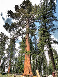 Reuzesequoiaboom in Sequoia Nationaal Park - Californië stock fotografie