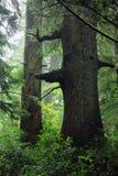 Reuzesitka-Sparren in Vreedzaam Regenwoud langs de Sleep van de Schoenerinham, Vreedzaam Rim National Park, het Eiland van Vancou royalty-vrije stock foto's