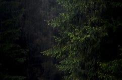 Reuzespar in een donker bos Royalty-vrije Stock Foto's