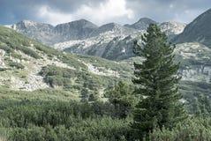 Reuzespar op alpien gebied Stock Foto's