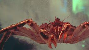 Reuzespinkrab rusteloos in een restaurant fishtank stock footage